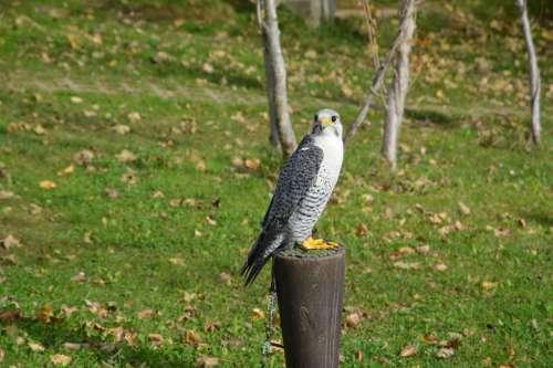 Falcon Bird Predator Hawk