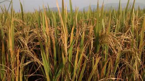 Farm Green Rice Nature Agriculture Natural Season