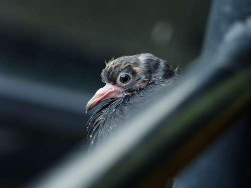 Feathers Animal Pigeons Birds