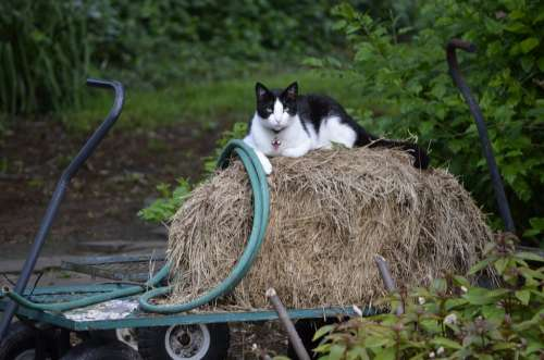 Feline Cat Pet Domestic White Hay Garden