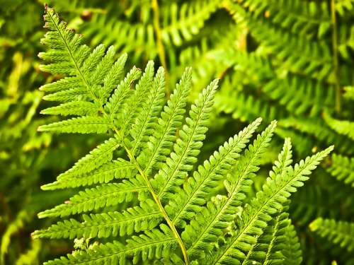 Fern Nature Green Plant Forest Leaves Flora