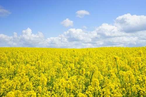Field Of Rapeseeds Oilseed Rape Blütenmeer Yellow