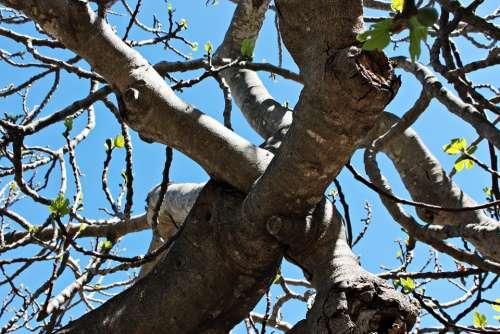 Fig Tree Leaves Autumn Shrubs Nature Figs Nudity