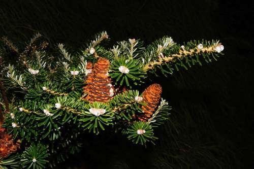 Fir Tree Tannenzweig Pine Cones Needles Green