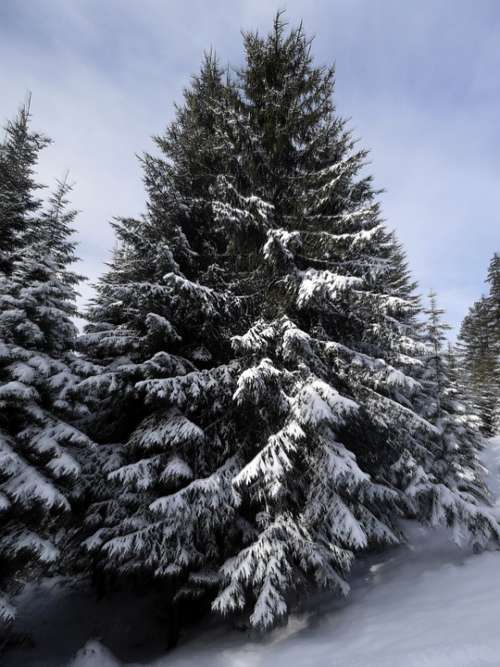 Fir Tree Snow Snowy Winter Firs Wintry