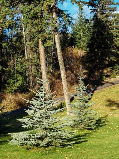 Firs Trees Garden Nature Spruce Landscape Wood