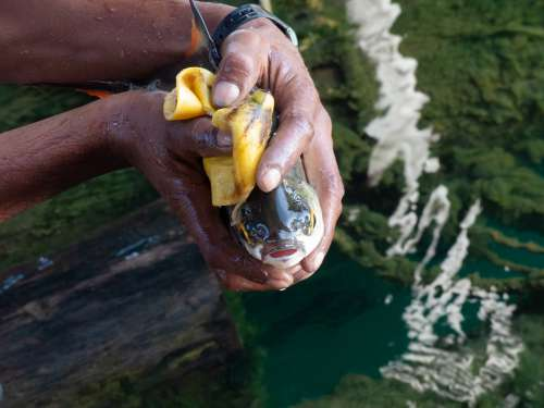 Fish Fishing Fresh Fisherman Banana Peel Eat