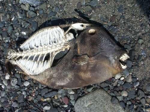 Fish Skeleton Dead Fish Piranha