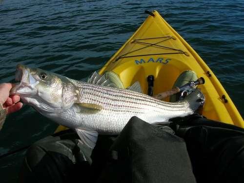 Fishing Striped Bass Fish Kayak Fisher
