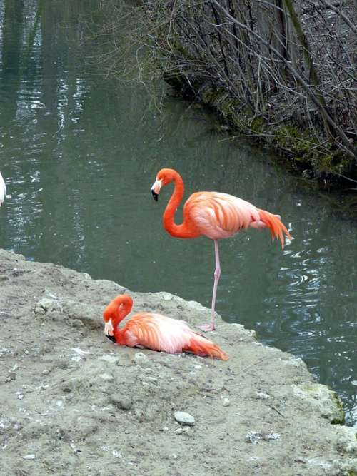 Flamingo Bird Animal
