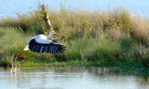 Flight Stork Take Off Nature Wings Freedom Bird