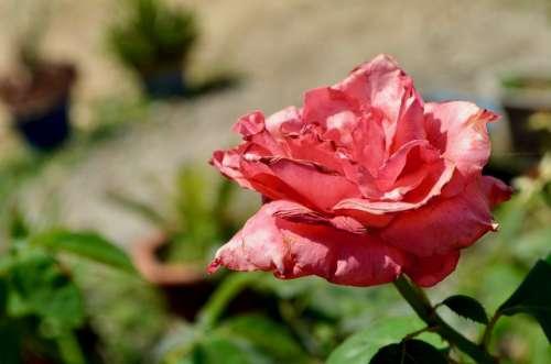 Flora Flower Bloom Nature Blossom Spring Love