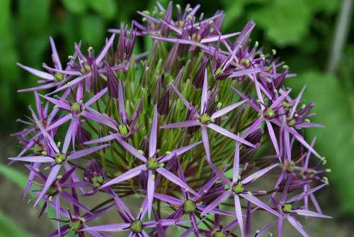 Flower Star Nature Purple Blossom Bloom