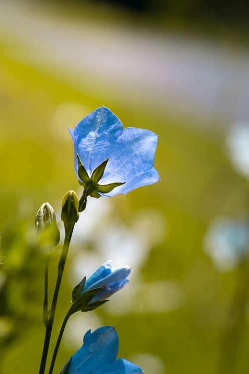 Flower Bellflower Blue Blue Flower Garden