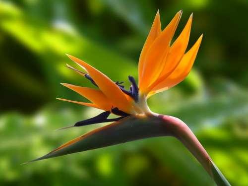 Blossom Bloom Strelitzia Flowers Bird Flower