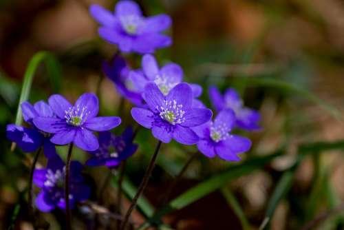 Flower Hepatica Nature Plant Forest Flower
