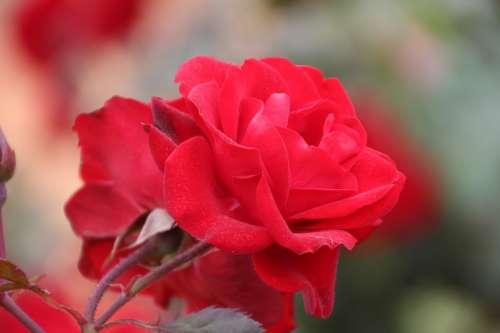 Flower Red Rose Bloom Garden Nature Love Summer