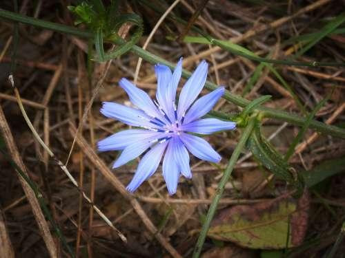 Flower Blue Beauty Petals Wild Flower