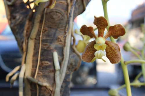 Flower Orchids Orchid Wild Orchid Burma Myanmar