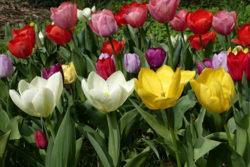 Flower Tulips Garden Spring Nature Flowers