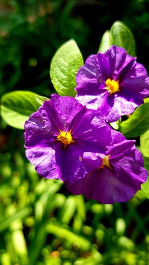 Flower Purple Italian