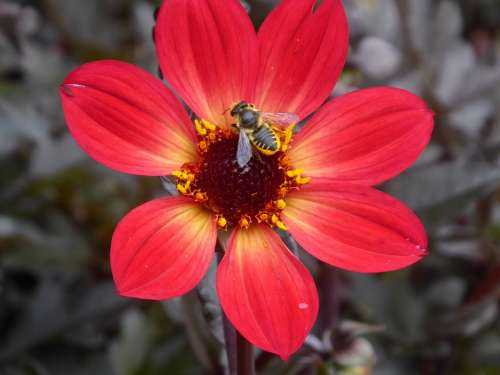Flower Bee Insect Honey Red Yellow Blossom Bloom