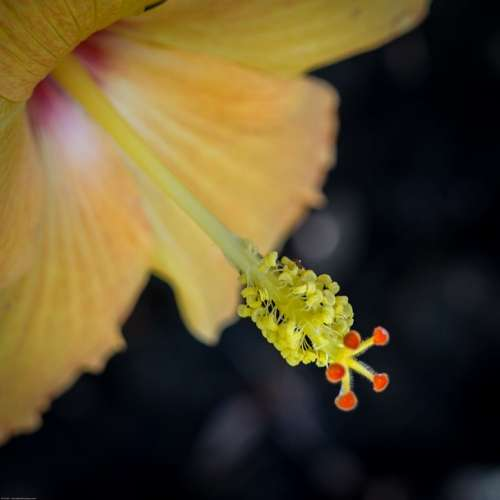 Flower Hibiscus Yellow Bloom Pistil