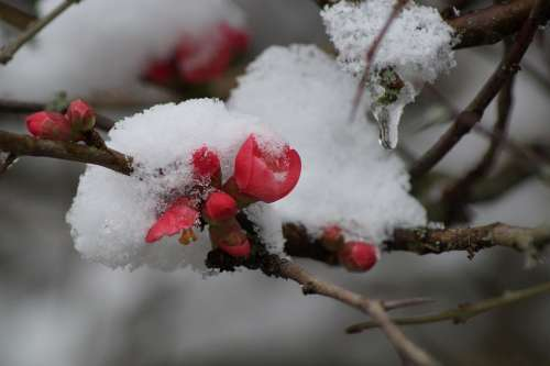 Flower Snow Winter Spring Flowers Plants Cold