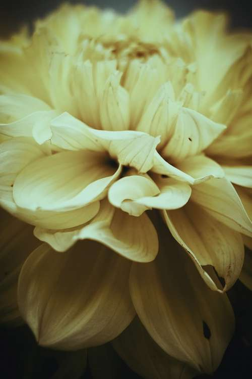 Flower Dahlia Garden Petals Growing Summer Vintage