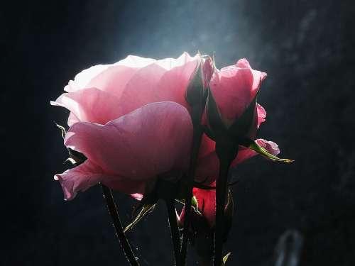 Flower Flowers Pink Rosa Roses Petal Petals