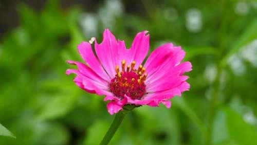 Flower Zinnia Garden Blooming Summer Pink Nature
