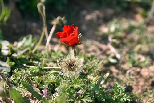 Flower Nature Poppy Flora Leaf Husk Growth Petal
