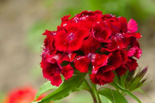 Flower Red Nature Plants Spring