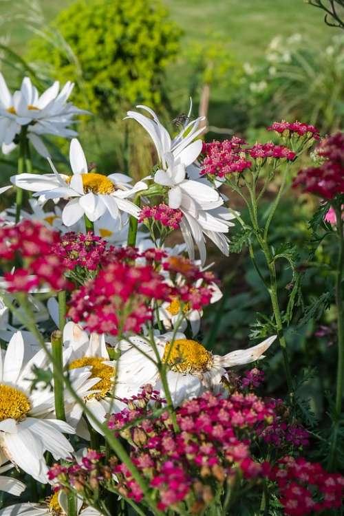 Flower Marguerite Garden Blossom Bloom