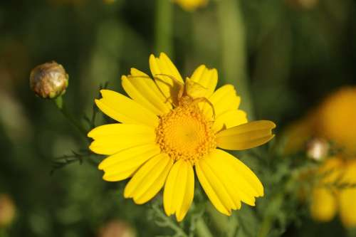 Flower Yellow Chrysanthemum Insect Bloom Field
