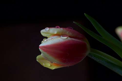 Flower Tulip Drop Of Water Blossom Bloom Nature