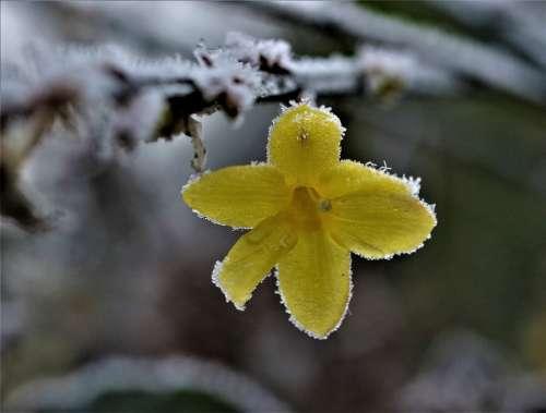 Flower Yellow Snow Icy Garden Winter Frost