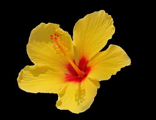 Flower Yellow Isolated Cut Out Summer Blossom
