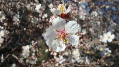 Flower Almond Tree Spring Tree Garden Plant