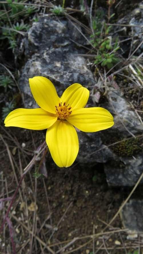 Flower Yellow Petal Flora Plant Nature Floral