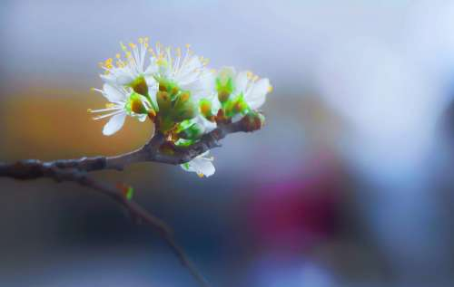 Flower Blooming Blossom Branch Twig Close-Up