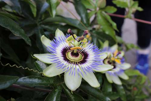 Flower Purple Yellow Blue The Butchart Gardens