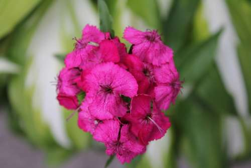 Flower Pink Blossom Bloom Nature Plant Bloom