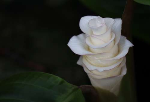 Flower White Flowers Flora Plant Bud