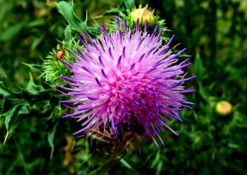 Flower Thistle Pink Plant Barbed Summer Purple