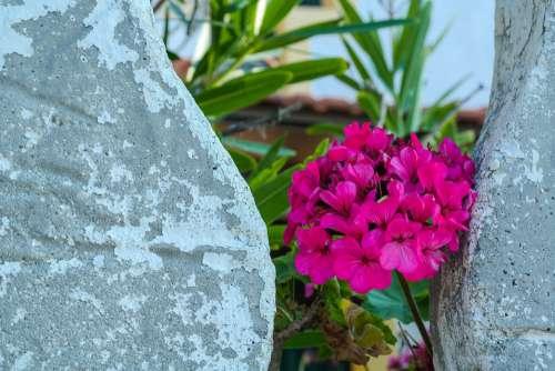 Flower Blossom Bloom Geranium Hidden Garden Pink
