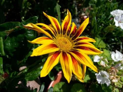 Flower Gazania Garden Nature Summer Floral Plant