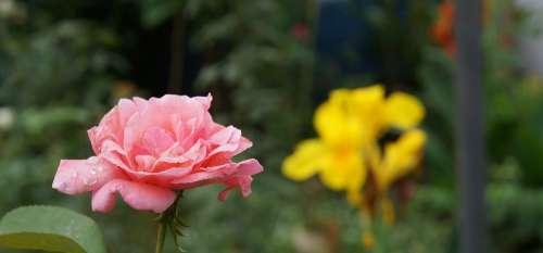 Flower Garden Rosa Flowers Nature Plants Botanist