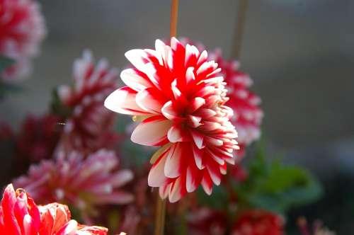Flower Nature Sun Summer Red White Rays