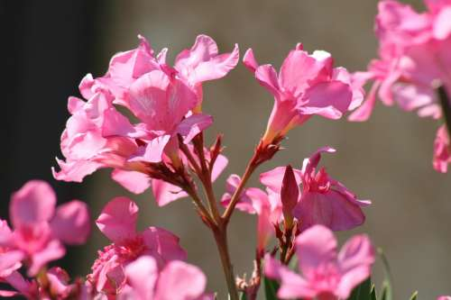 Flower Azalea Spring Garden